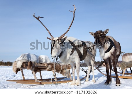 Reindeer are in harness during of winter day.