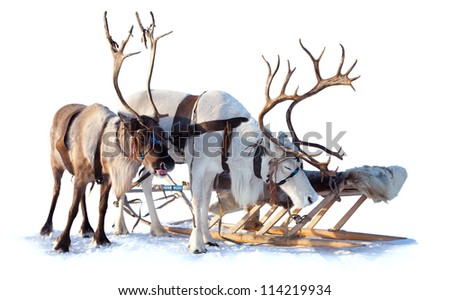 Reindeer are in harness on the white background.