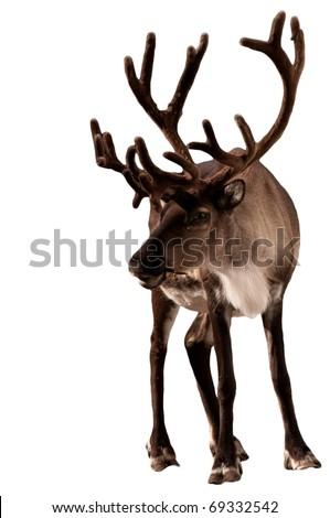 Reindeer caribou isolated Сток-фото ©