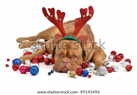 Reindeer dog with Christmas baubles isolated - stock photo