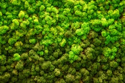 Reindeer green moss texture for decoration, creative background.
