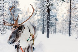 Reindeer in a winter forest in Finnish Lapland