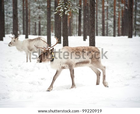 reindeer in its natural winter habitat in the north of Sweden
