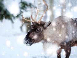 Reindeer in Lapland, Northern Finland