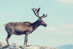 reindeer in Norway