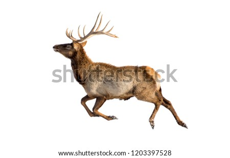 Reindeer in snow is isolated on white background for design as the oject of the new year and Christmas team of Santa Claus leader of the pack leader deer