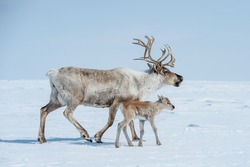 reindeer in the spring, female reindeer with offspring