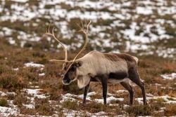 Reindeer in their natural habitat in the UK