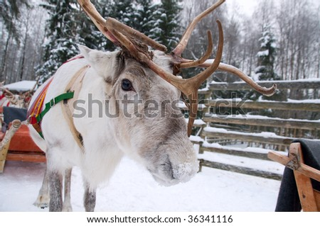 Reindeer in winter at the polar circle