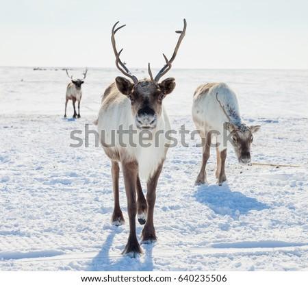 Reindeer in winter tundra Stock photo ©