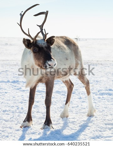 Reindeer in winter tundra Сток-фото ©