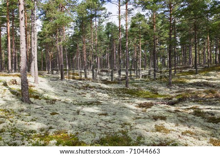 Reindeer moss in pine forest