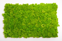 Reindeer moss wall, green wall decoration made of reindeer lichen Cladonia rangiferina, recolored to match Pantone 15-0343c, color of the year 2017, isolated on white, usable for interior mock ups
