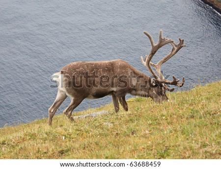 Reindeer on the beach - stock photo