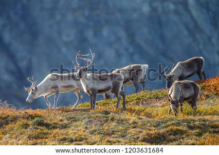 Reindeer or Caribou (Rangifer tarandus) in nature with autumn colours  Сток-фото ©