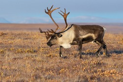 Reindeer (Rangifer tarandus) in the autumn tundra. Beautiful deer with big horns. Arctic tundra away from settlements and civilization. Nature and animals of Chukotka. Siberia, the Far East of Russia.