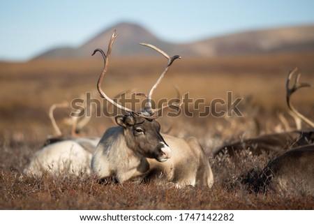 Reindeer (Rangifer tarandus). Reindeer female resting in the tundra. A herd of deer in a valley among hills. Chukotka, Siberia, Far East of Russia.