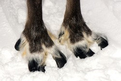 Reindeer sledding ecotourism tour, Finland. ( Deer foot )