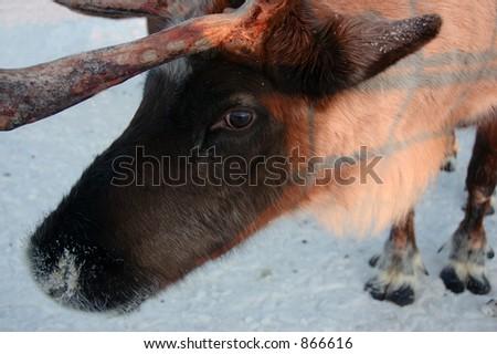Reindeer up close - stock photo