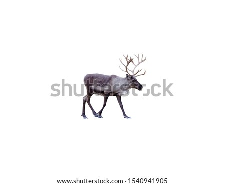 reindeer with majestic antlers isolated on white background #1540941905