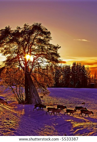 Reindeers in the sunset
