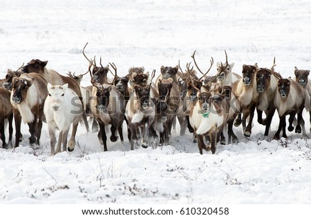 Reindeers migrate for a best grazing in the tundra nearby of polar circle in a cold winter day. Yamal peninsula, Siberia. Сток-фото ©