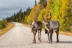 Reindeers walk on the road in Scandinavia. Ruska autumn season in Finland. Deers with gps trackers crossing highway