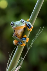 Reinwardt's tree frogs on bamboo