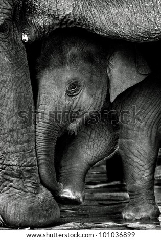 Relationship between calf and mom, Thai elephant, Thailand