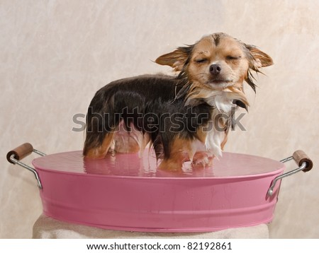 Relaxed chihuahua puppy taking a bath standing in pink bathtub