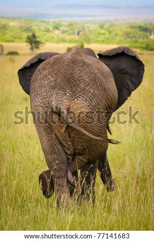 Relaxed elephant waiting for a friends, Masai Mara, Kenya