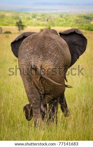 Relaxed elephant waiting for a friends, Masai Mara, Kenya