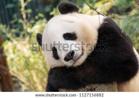 Relaxed Panda Bear