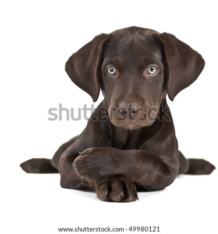 Relaxed puppy posing with paws crossed