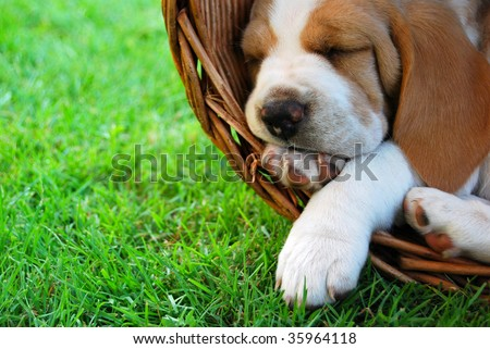 Relaxing Beagle puppy - stock photo