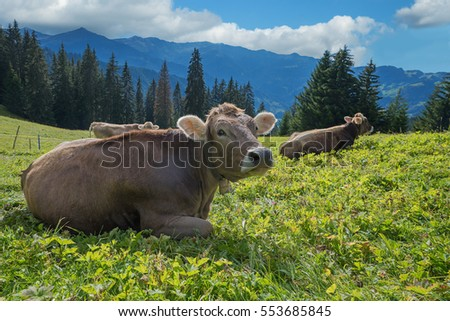 relaxing cows on a pasture in the swiss alps. selective focus