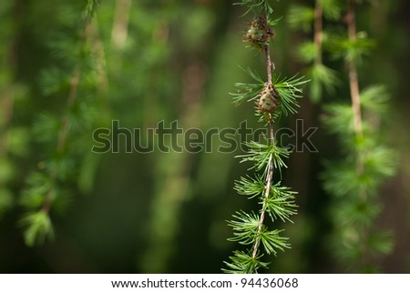 Relaxing larch greenery: closeup of European larch (Larix decidua) foliage with cones (selective focus) - stock photo