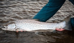 Releasing the big sea trout