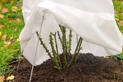 Reliable and comfortable shelter for a rose flower with breathable material from severe northern frosts