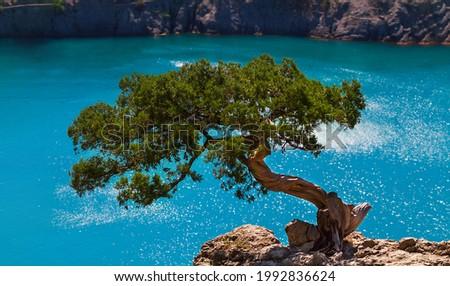 Relic juniper on a rock above the azur sea. Novyi Svet, Crimea