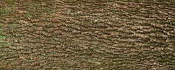 Relief texture of the brown bark of a tree with green moss and lichen on it. Long panoramic image of a tree bark texture.