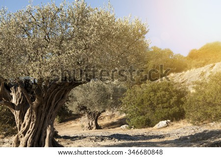 Religion symbol - beautiful old olive trees