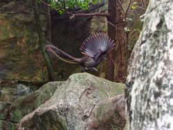Remarkable Impressive Superb Lyrebird Dancing with Animated Passionate Zeal.