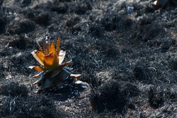 REMNANT OF A BURNT ALOE PLANT WITH LUMINOUS LEAVES AFTER A WILD FIRE