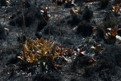 REMNANT OF BURNT ALOE PLANTS WITH STEMS WITH SOME GREEN COLOUR AFTER A WILD FIRE ON TEXTURED BURNT GRASS AND VEGETATION