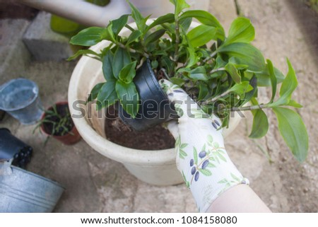 Replanting a bright green tradescantia potted plant that has overgrown its plastic pot using patterned gardening gloves. Outdoors, pots lying around and a watering can in the background. #1084158080