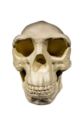 Replica of skull of Peking Man / Homo erectus pekinensis against white background