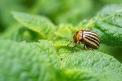 Reproduction of colorado potato beetles in potato leaves.Colorado beetle, potato parasite. Close-up colorado potato beetle, Decemlineata, potatoes parasites, leptinotarsa, potatoes beetles.