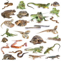reptile and amphibian in front of white background