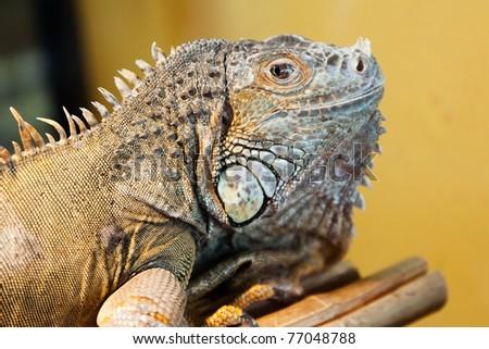 Reptile animal nature wildlife green iguana lizard
